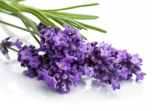 Lavender for relaxation and pain relief